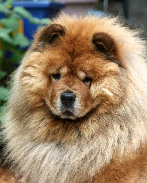 Chow Chow #dogs #pets #ShermanFinancialGroup