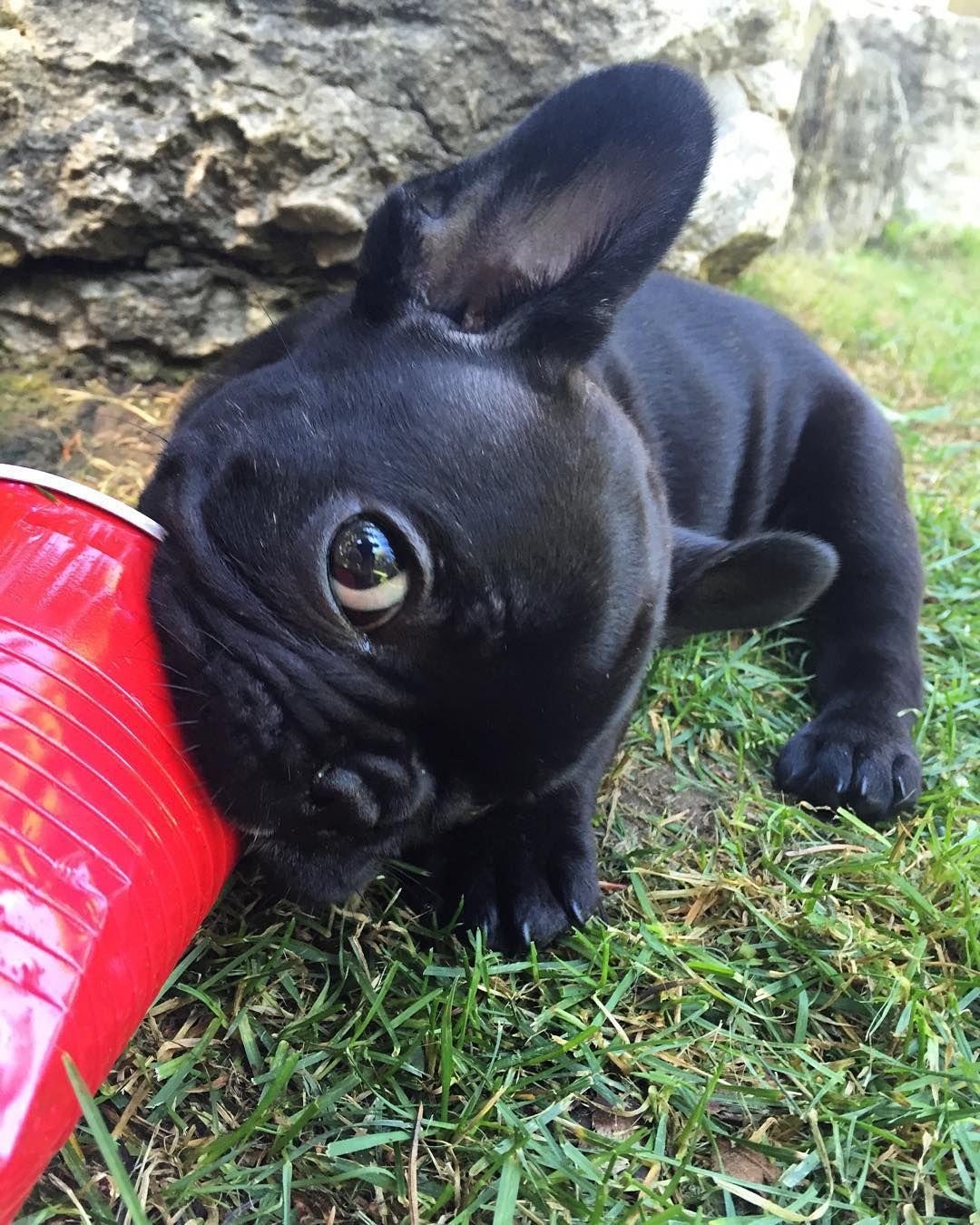 French Bulldog Puppy Cute french bulldog, French bulldog