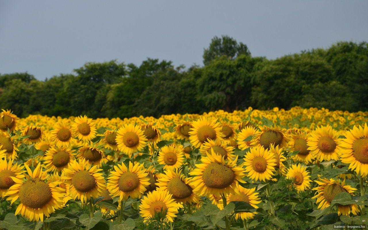 Pin by elżbieta lemiech on słoneczniki sunflowers pinterest