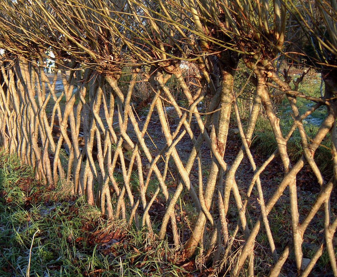 Living with twisted willow Don t take a fence