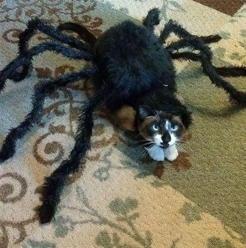 Image result for Scary Spider Cat Costume