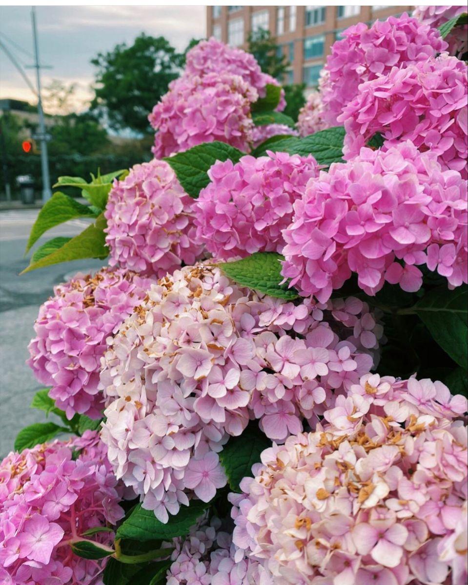 Pink Hydrangea In 2020 Hydrangea Flower Pink Hydrangea Pink Flowers