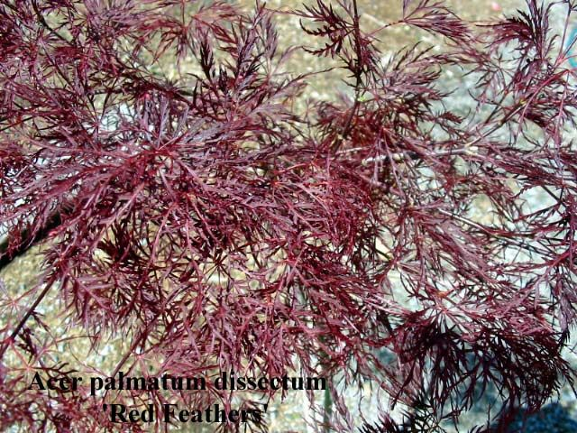 Acer Palmatum Dissectum Red Feathers Deep Red Colour In Spring And