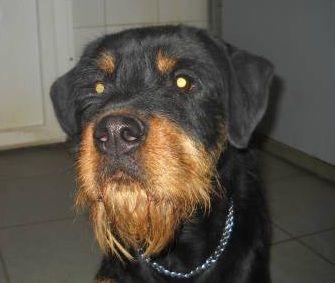 Schnauzer rottweiler mix | Unique mix breed dogs ...