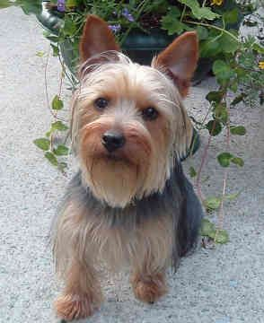 Australian Silky Terrier Reviews And Pictures Australian Silky