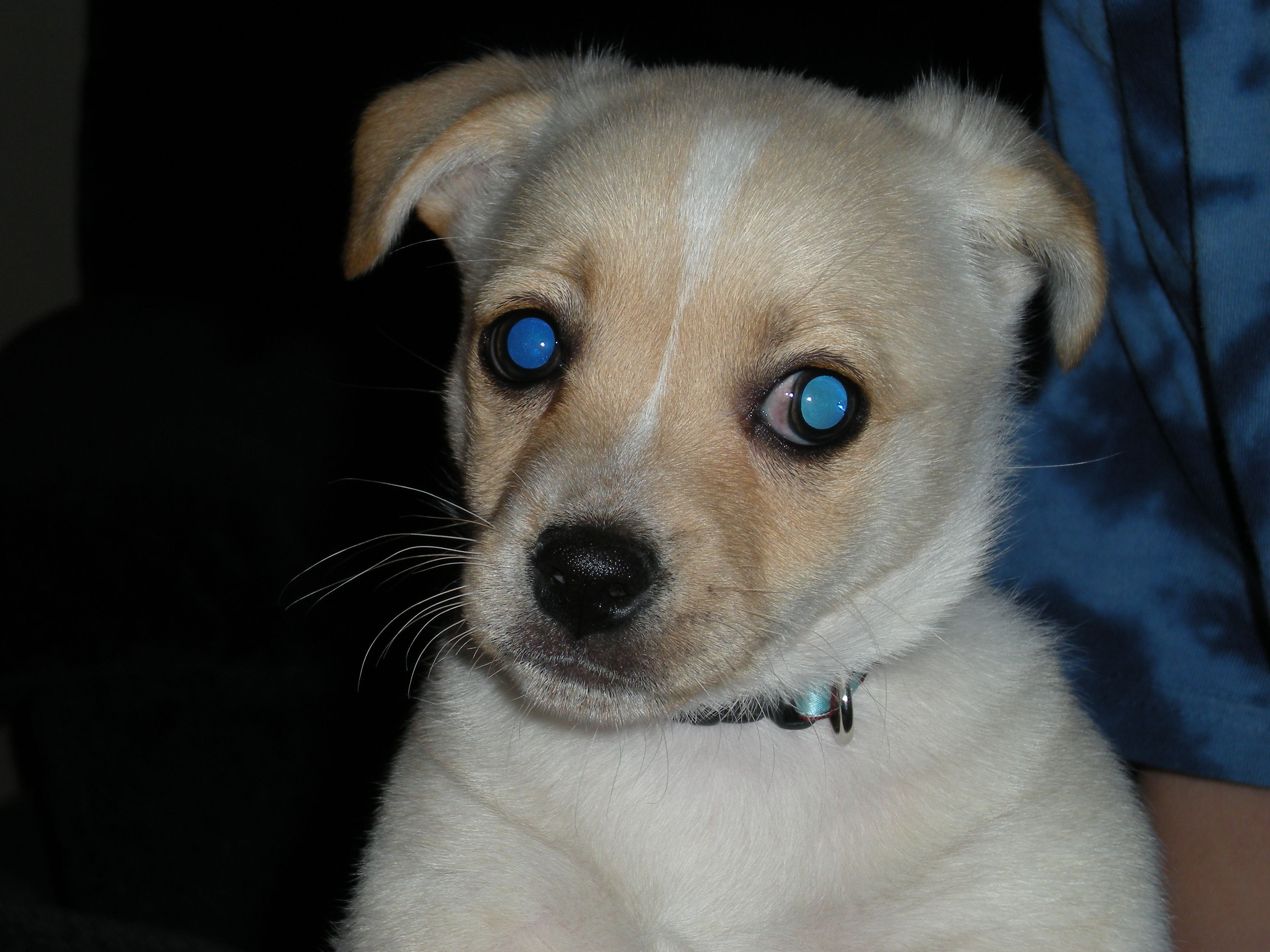 Rocky A Delightful Mix Of Jack Russell Terrier Pomeranian And
