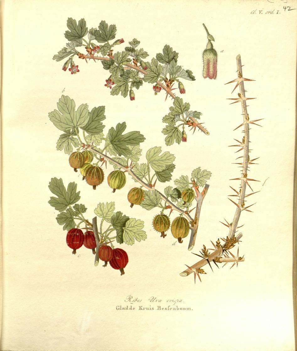 1 - Afbeeldingen der fraaiste, meest uitheemsche boomen en heesters : - Biodiversity Heritage Library  Gooseberry