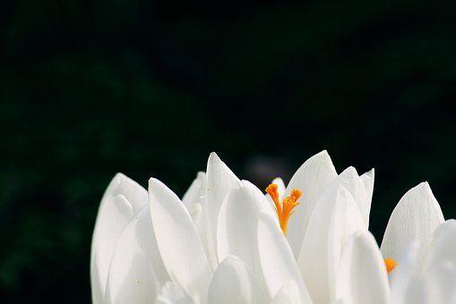 Crocus, Flower, Spring