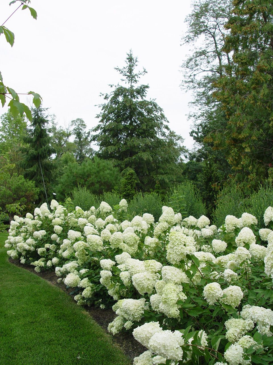 Limelight hydrangeas i have 4 of these 8 39 tall x 8 39 hight for Limelight hydrangea