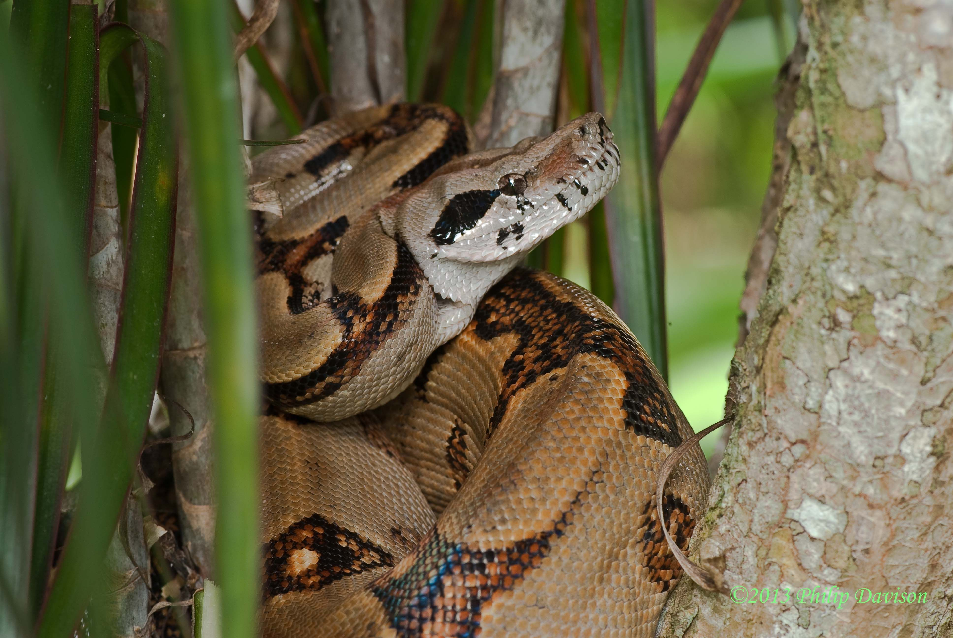 And the boa constrictor behinds the tree or beneath the