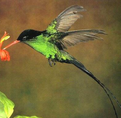 memories of jamaica s blue mountains hummingbird bird and red bill. Black Bedroom Furniture Sets. Home Design Ideas