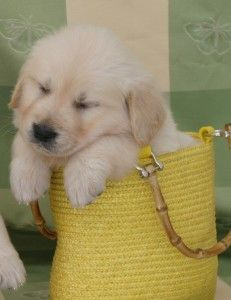 Puppy Training Goldenretrievers Puppies For Sale Puppy Training Puppies Cute Animals