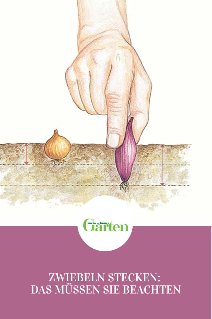 Zwiebeln stecken: Das müssen Sie beachten  #howtogrowvegetables