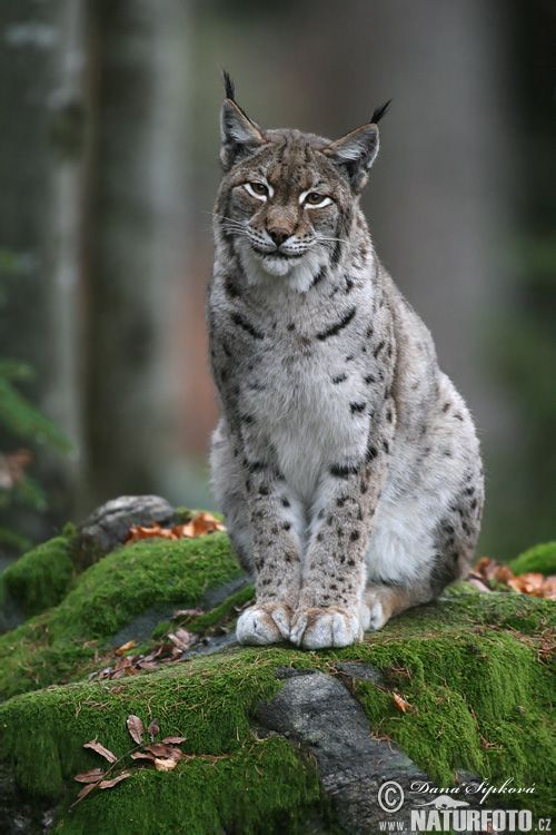 Lynx Images De Lynx Photos De Lynx Photo Nature Cats Wild Cats Animals Beautiful