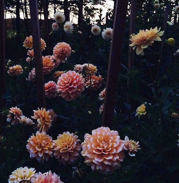 Dahlias In Their Natural Habitat Flower Farm Backyard Adventure Dahlia
