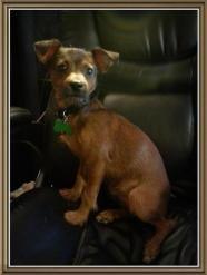 Bob Barker Terrier Luvfurmutts Cincinnati Ohio Pet Search Pet