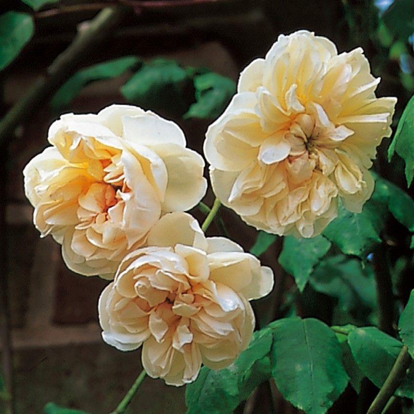 Desprez to Fleur Jaune  Climbing Rose  David Austin Rosesaustin