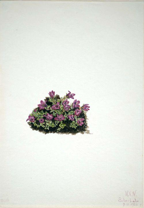 Mary Vaux Walcott, Purple Saxifrage (Saxifraga ...  Purple Saxifrage Drawing