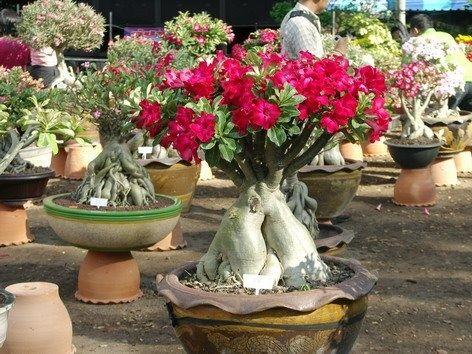 Rosa del desierto suculentas y cactus pinterest - Como transplantar cactus ...