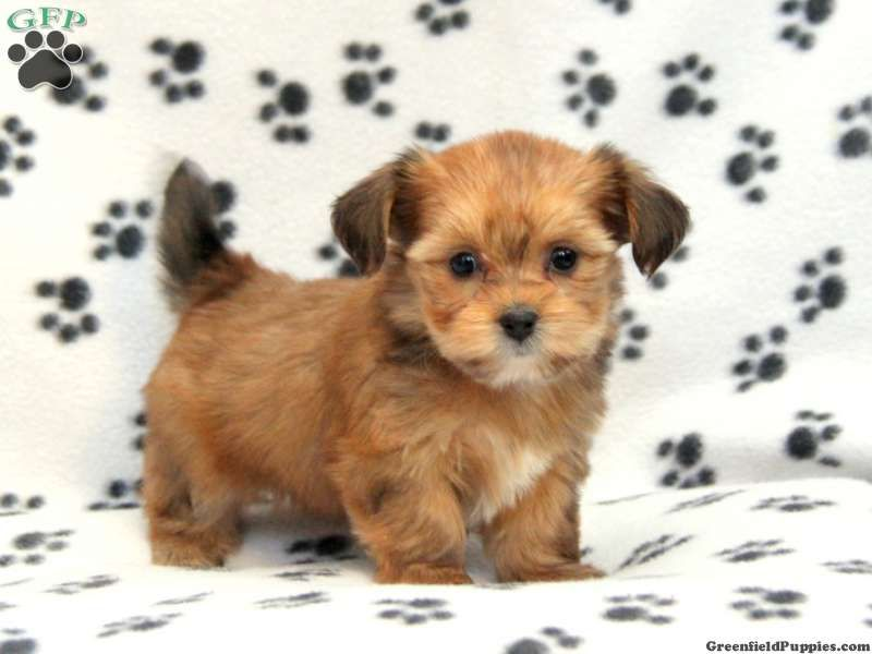 pictures of shorkies tails Shorkie Puppies For Sale In