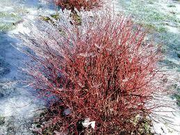 Red Osier Dogwood Bush Red Twig Dogwood Growing Shrubs