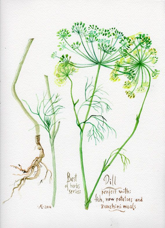 Kitchen poster DILL herbs and spices series by VerbruggeWatercolor