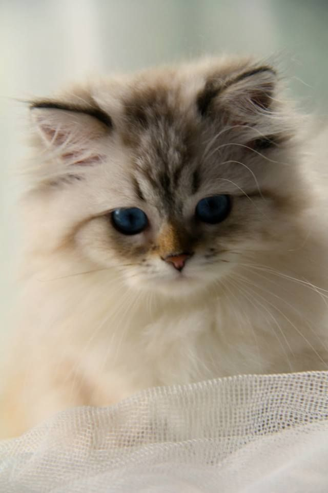 20 Most Popular Long Haired Cat Breeds Beautiful Cats Cute