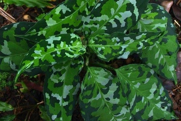 Chinese evergreen aglaonema varieties part 2 in 2020 ...