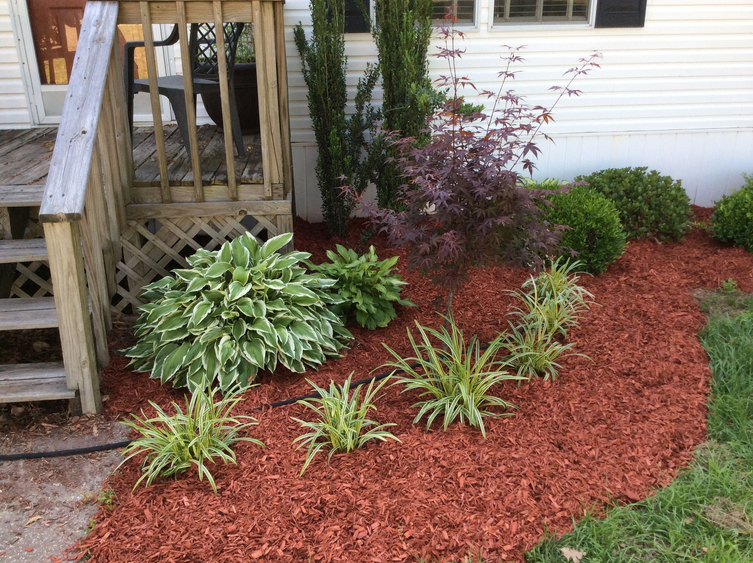 Hostas And Verigated Monkey Grass Red Mulch Makes It Stand Out