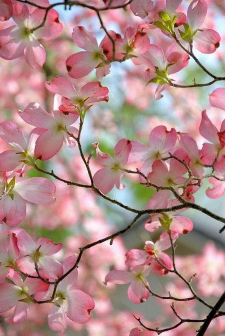63 Lovely Flowering Tree Ideas For Your Home Yard Dogwood Blooms Flowering Trees Pink Dogwood