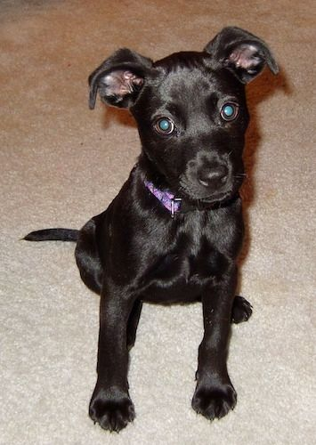 A Small Shiny Coated Black Labrahuahua Puppy Is Wearing A Purple