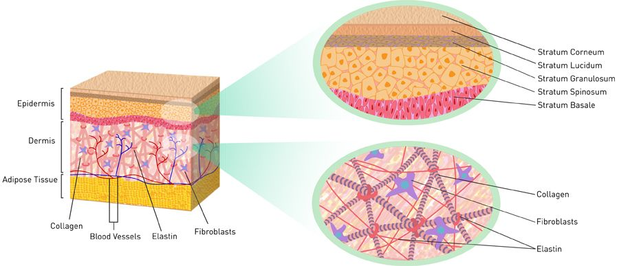 Anatomy of Skin! The skin is made of three layers: epidermis, dermis ...