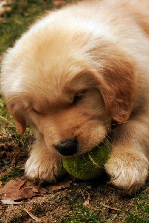 Goldens They Never Give Up Their Obsession With The Tennis Ball Cute Animals Images Puppies Kitties Free Puppies