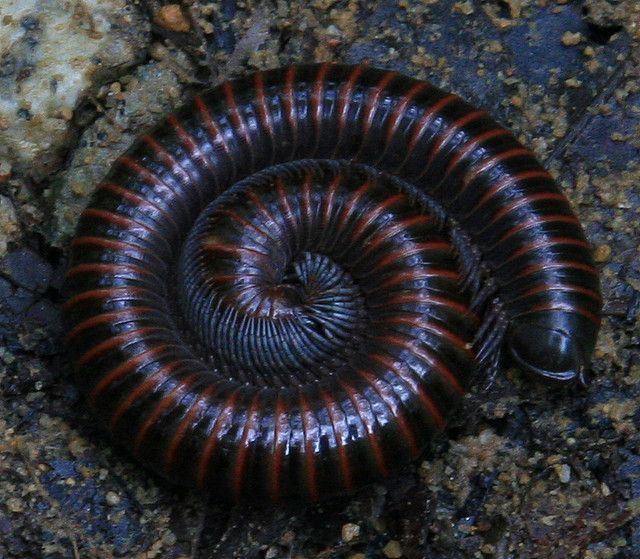 https://flic.kr/p/5M1ZTY | millipede