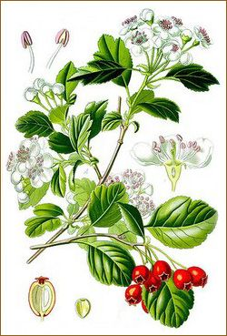 hawthorne flowers, leaves and berries