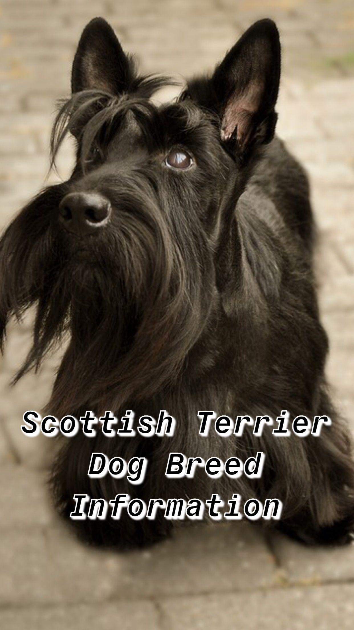 Scottish Terrier Dog Breed Information Scottish Terrier Terrier Mix Dogs Terrier Dog Breeds