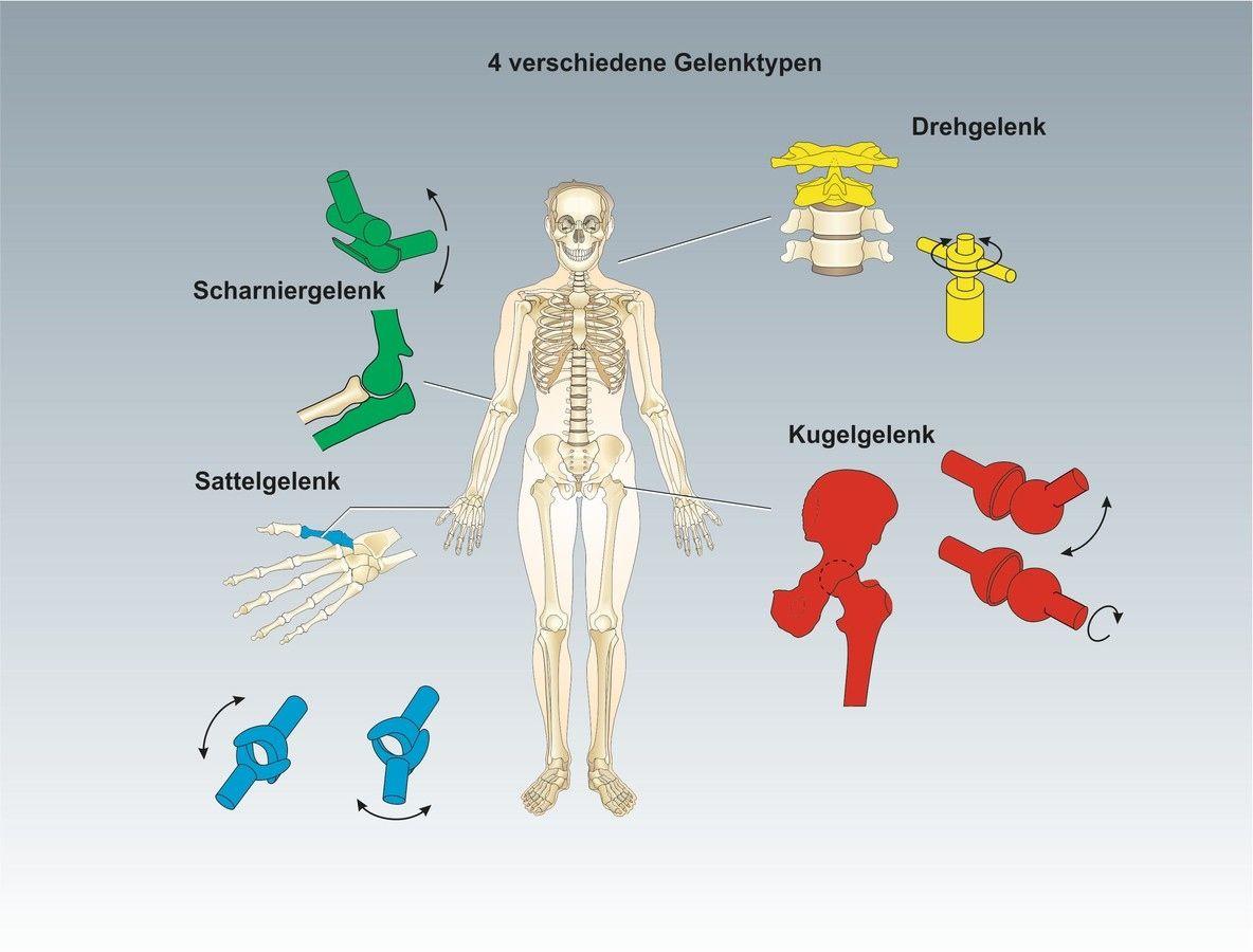 arbeitsblatt gelenktypen menschenkunde unterrichtssoftware das skelett anatomie. Black Bedroom Furniture Sets. Home Design Ideas