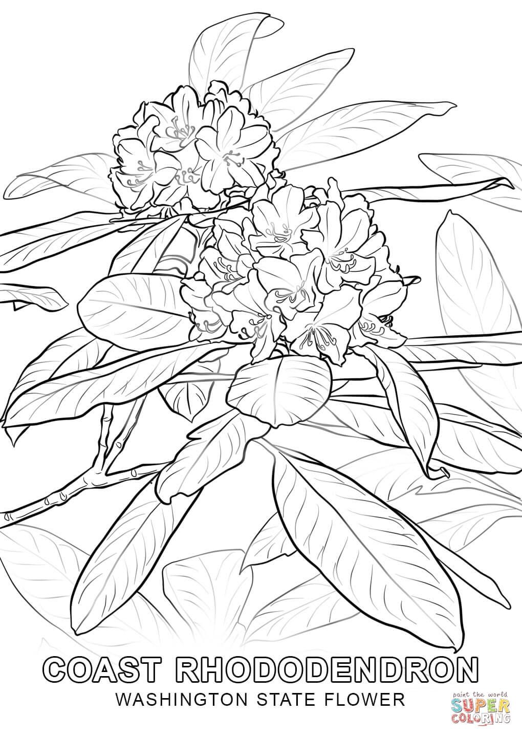 Washington State Flower Coloring Page Free Printable Coloring