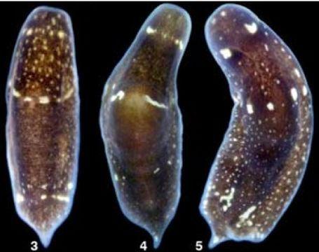 Phylum platyhelminthes imagine. Psoriazis helmint