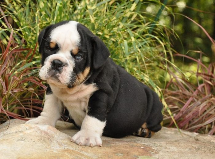 Pet Solutions English Bulldog Puppies Black English Bulldog
