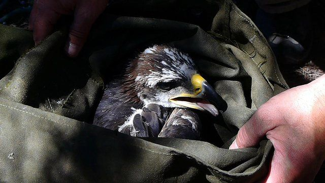 US scientists track what's killing golden eagles