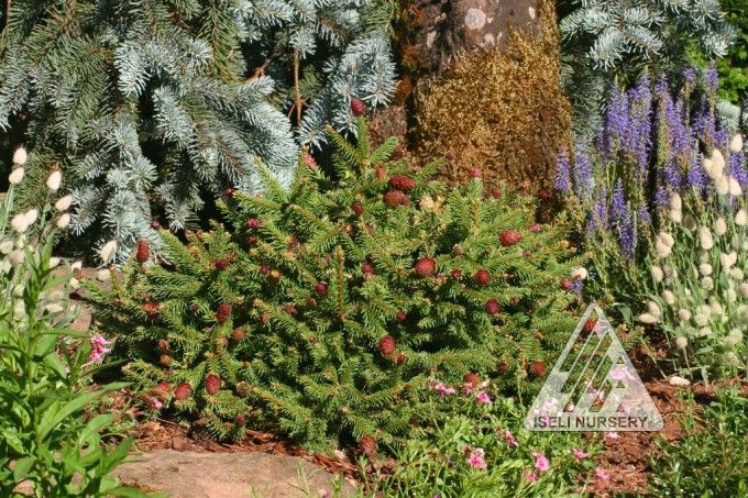 Picea Abies Pusch Deer Resistant This Small Slow Growing Norway