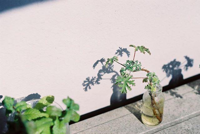 光がなければ 影も私についてきたりしないのに  #フィルムに恋してる #film_jp #ふぃるむ寫眞 #フィルムの灯を絶やさない #フィルム写真部 #tokyocameraclub #photographyislife #indy_photolife #キリトリセカイ #生活とフィルム #thefilmcommunity #フィルム写真撮ってる人と繋がりたい #写真で伝えたい私の世界 #フィルムカメラ #filmphotography #film #filmcamera #キタムラ写真投稿 #photo_jpn #phos_japan #indies_gram #igersjp #写真好きな人と繋がりたい #contaxaria #フィルム #analogfilm #analoguepeople #filmfeed #analogue #filmcommunity