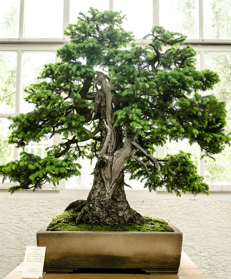 200 jahre alte fichte picea abies als bonsai baum. Black Bedroom Furniture Sets. Home Design Ideas