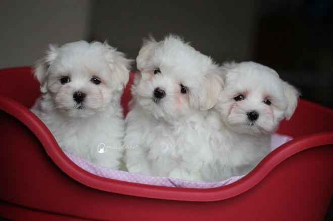 Teacup Maltese Dog Breed Information And Pictures Maltese