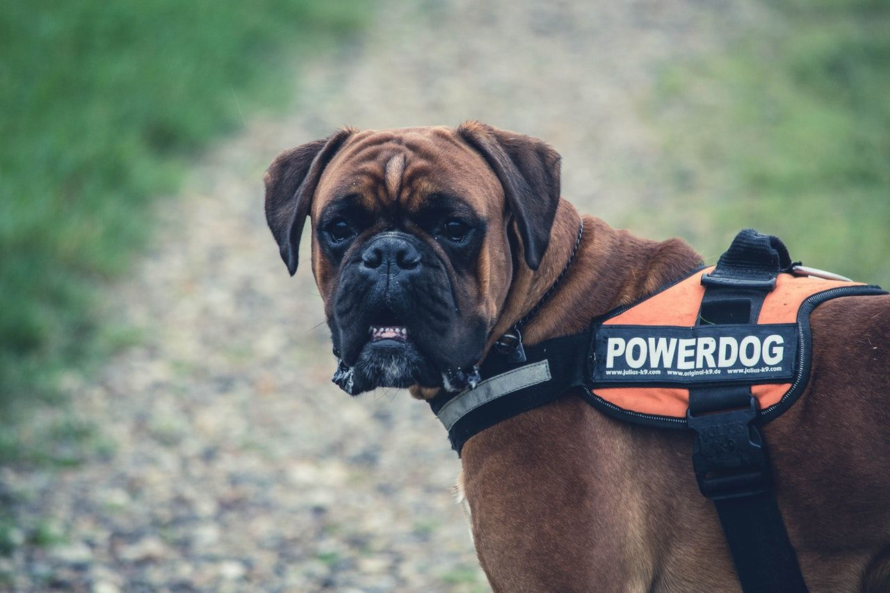 Service Animals for the Win Training your dog, Big dog