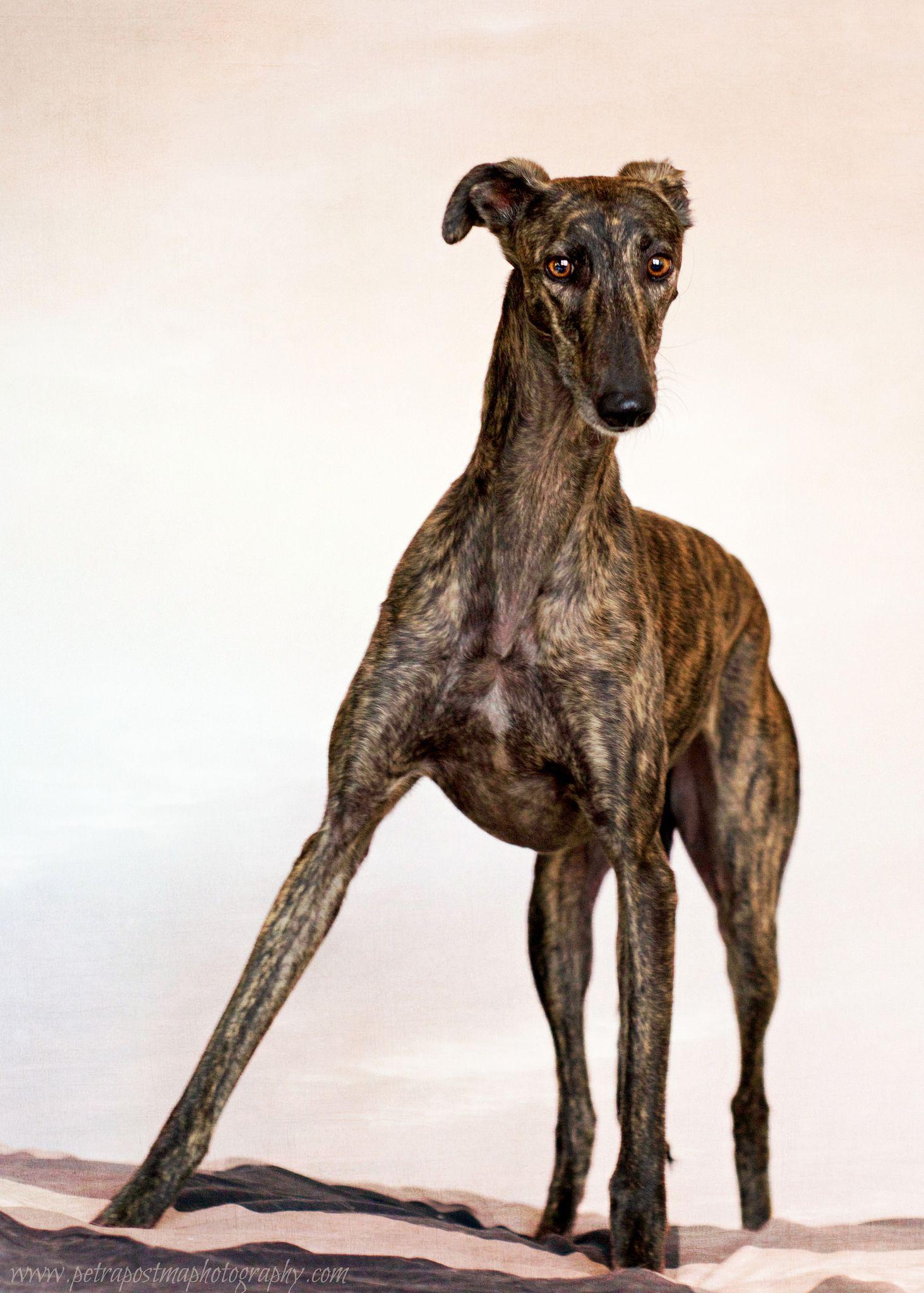 Maira Greyhound pictures, Greyhound breed, Grey hound dog