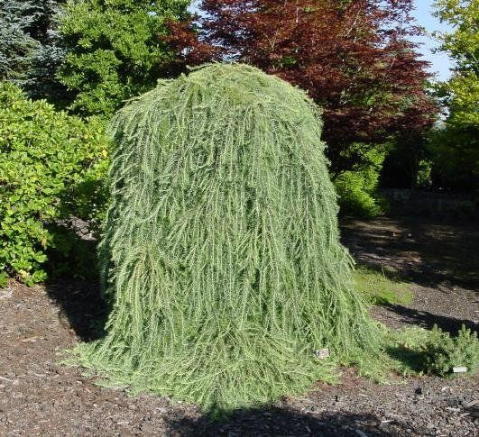 Small Ornamental Evergreen Trees: Evergreen Ornamental. Love This..I Would Like To See A Hat