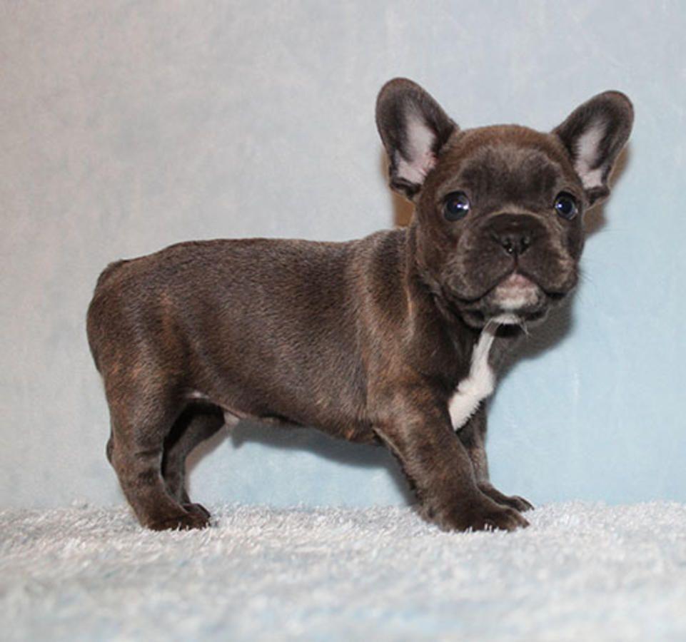 akc blue/tri carrier french bulldog puppy boy (harry