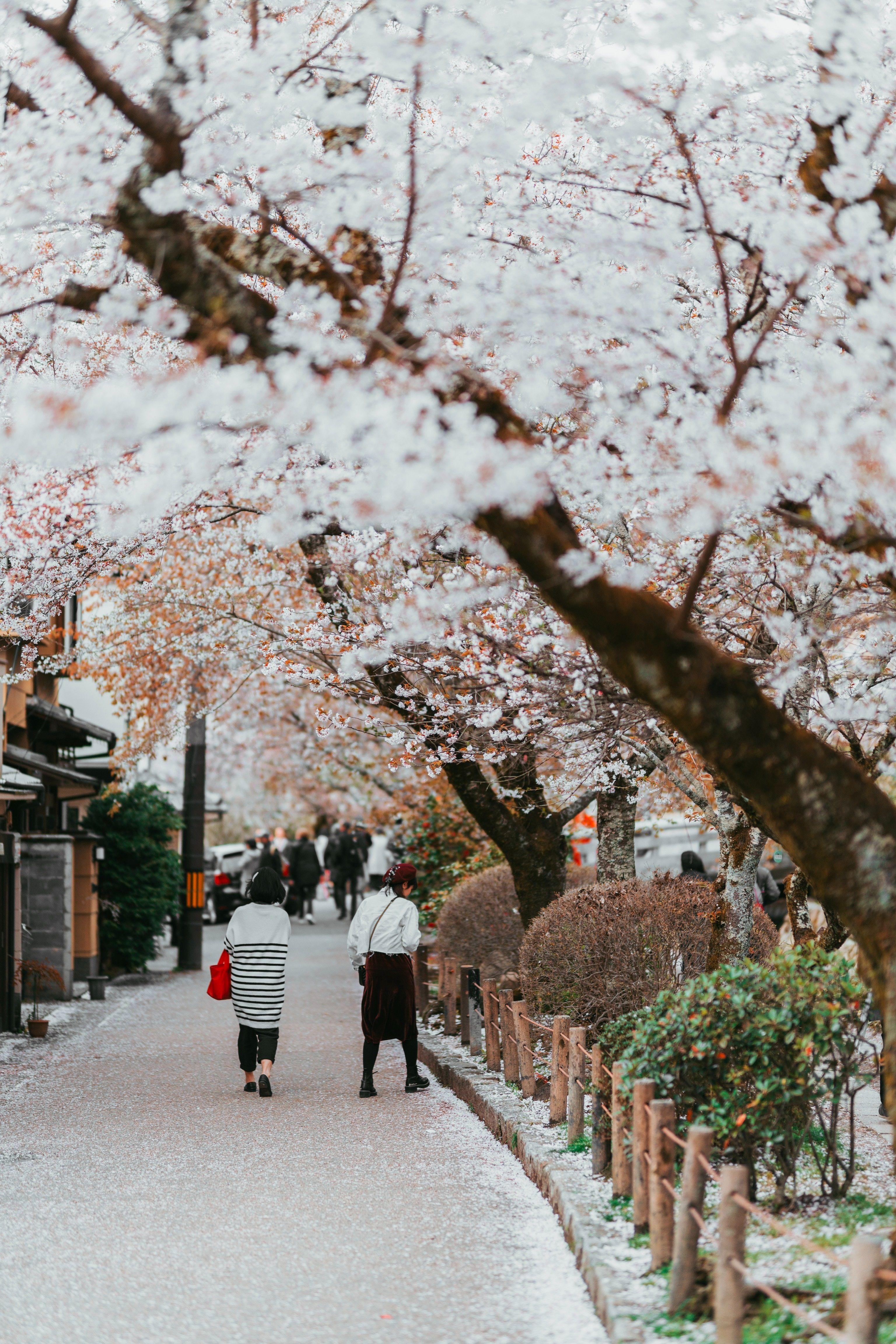 Cherry Blossom Kyoto Travel Japan Travel Japan